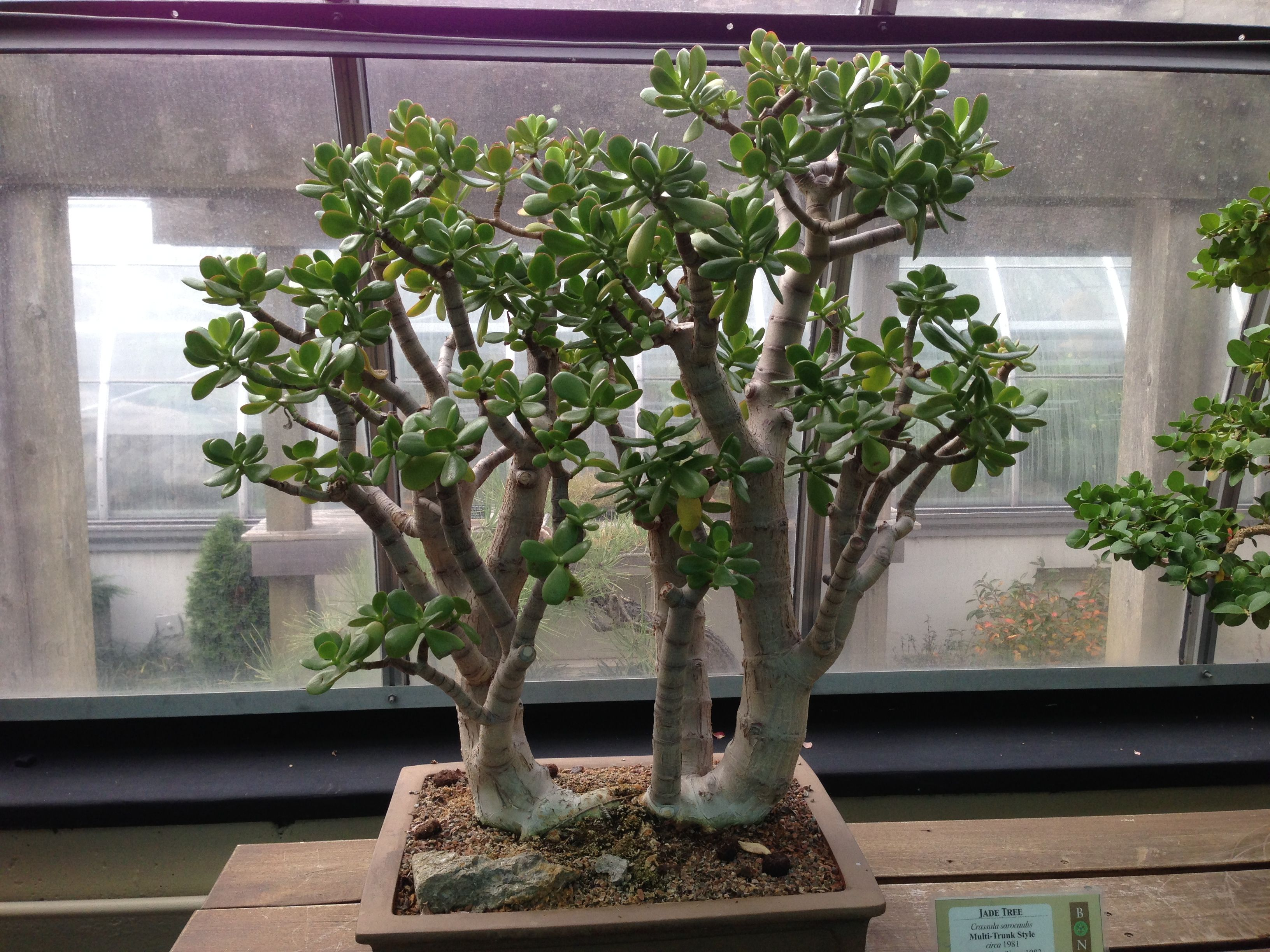 Jade Pflanze Jade Plants Jade Trees Make An Interesting Bonsai