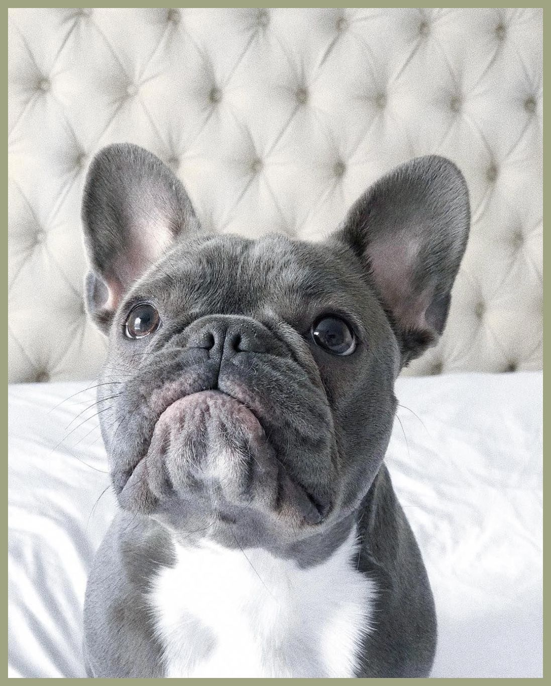 THE PRICE FRENCH BULLDOGS PAY FOR BEING SO CUTE Blue