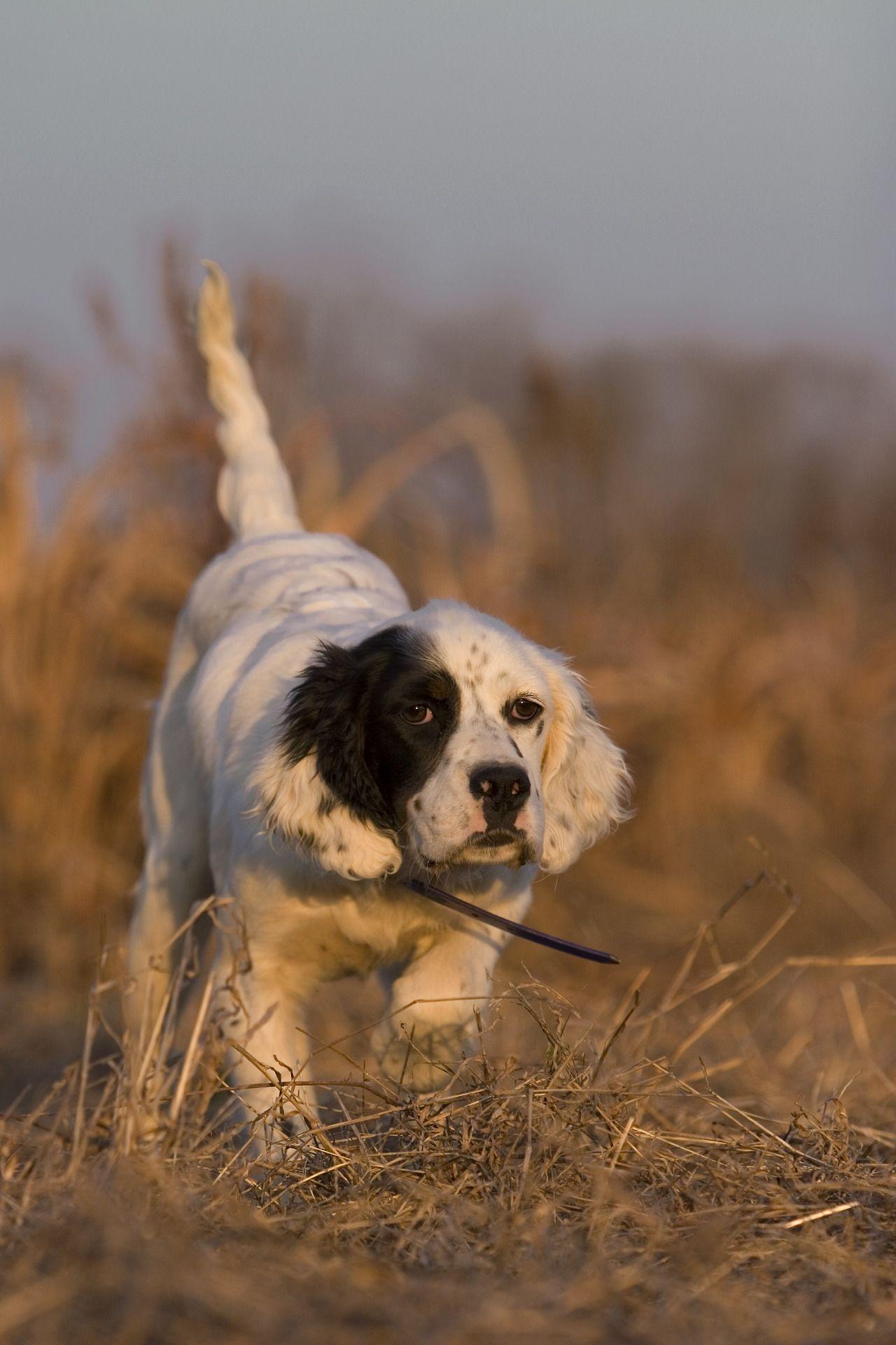 Filson English Setter Dogs Dogs Bird Dogs