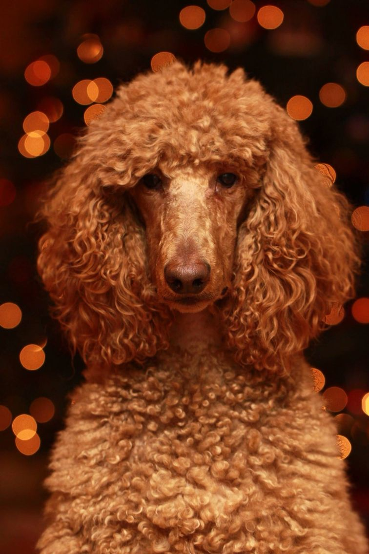 My Standard Poodle, Scout, posing in front of our