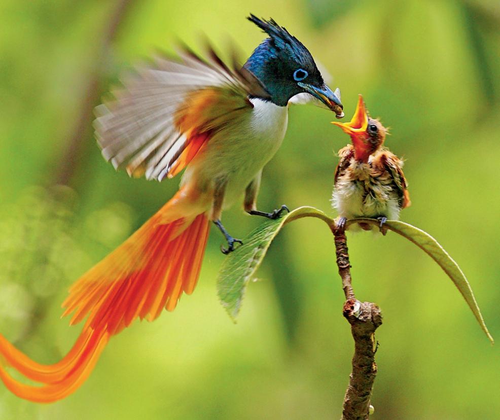 Beautiful Color, Beautiful Bird. Birds Of Paradise Flycatcher ...