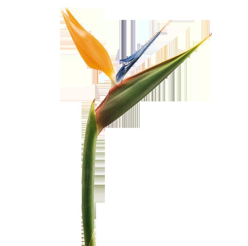 Strelitzia Reginae Aiton Bird Of Paradise Familia Strelitziaceae Aves Del Paraiso Flores Tropicales Y Exoticas De Colombia