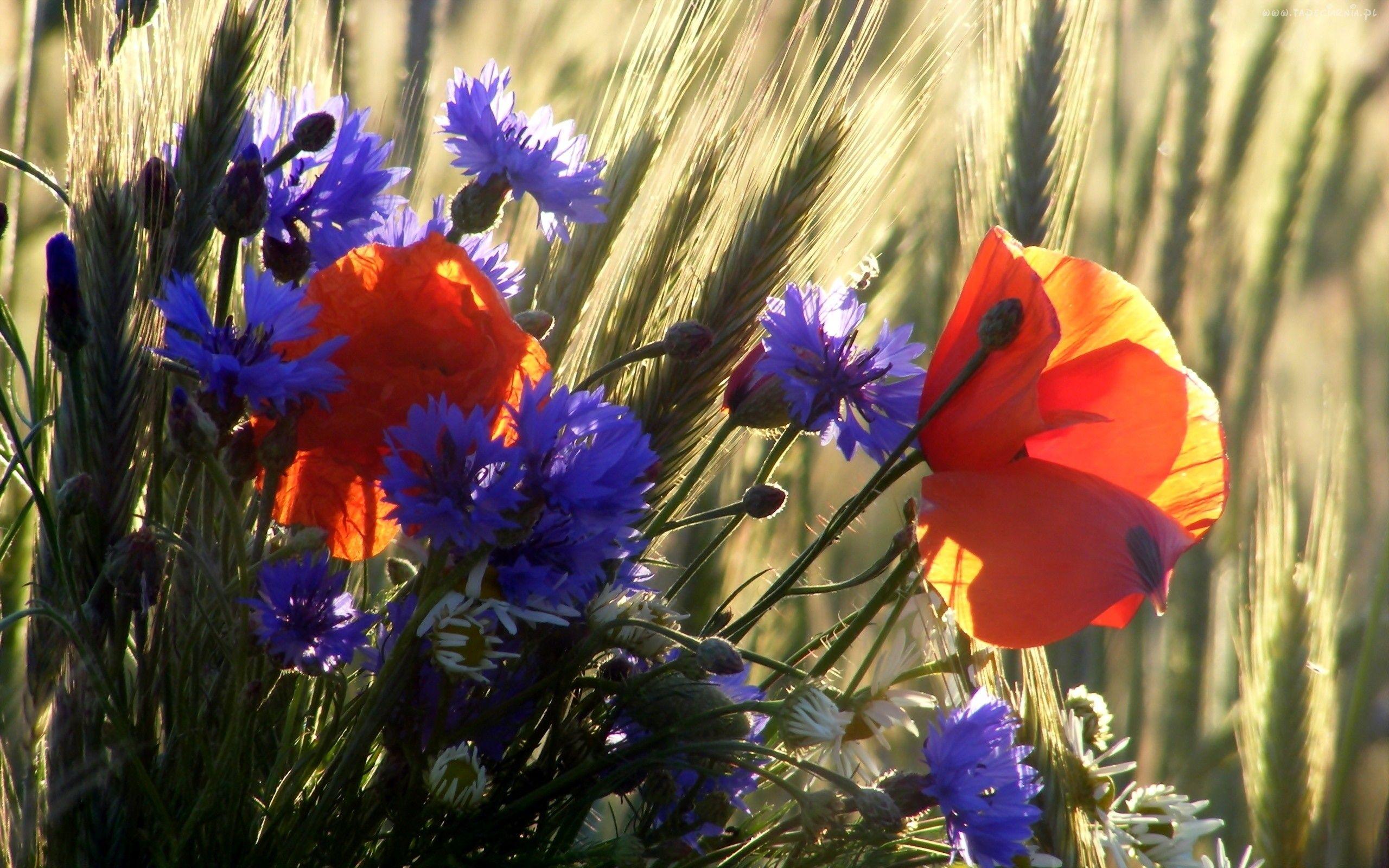 Laka Kwiaty Chabry Maki Purple Flowers Garden Wild Flowers Poppies