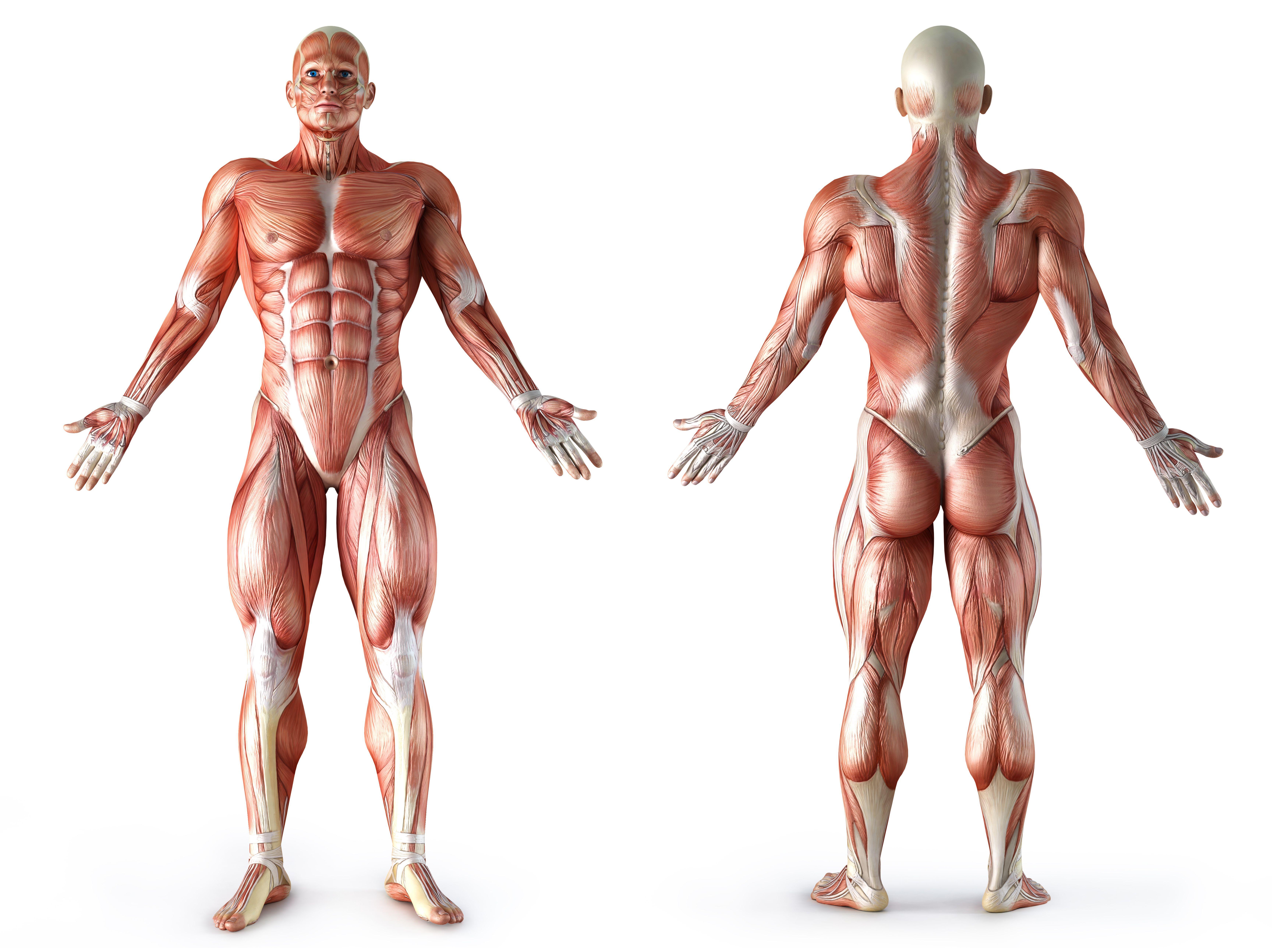 anatomy muscle | Dessin anatomie | Pinterest | Anatomy