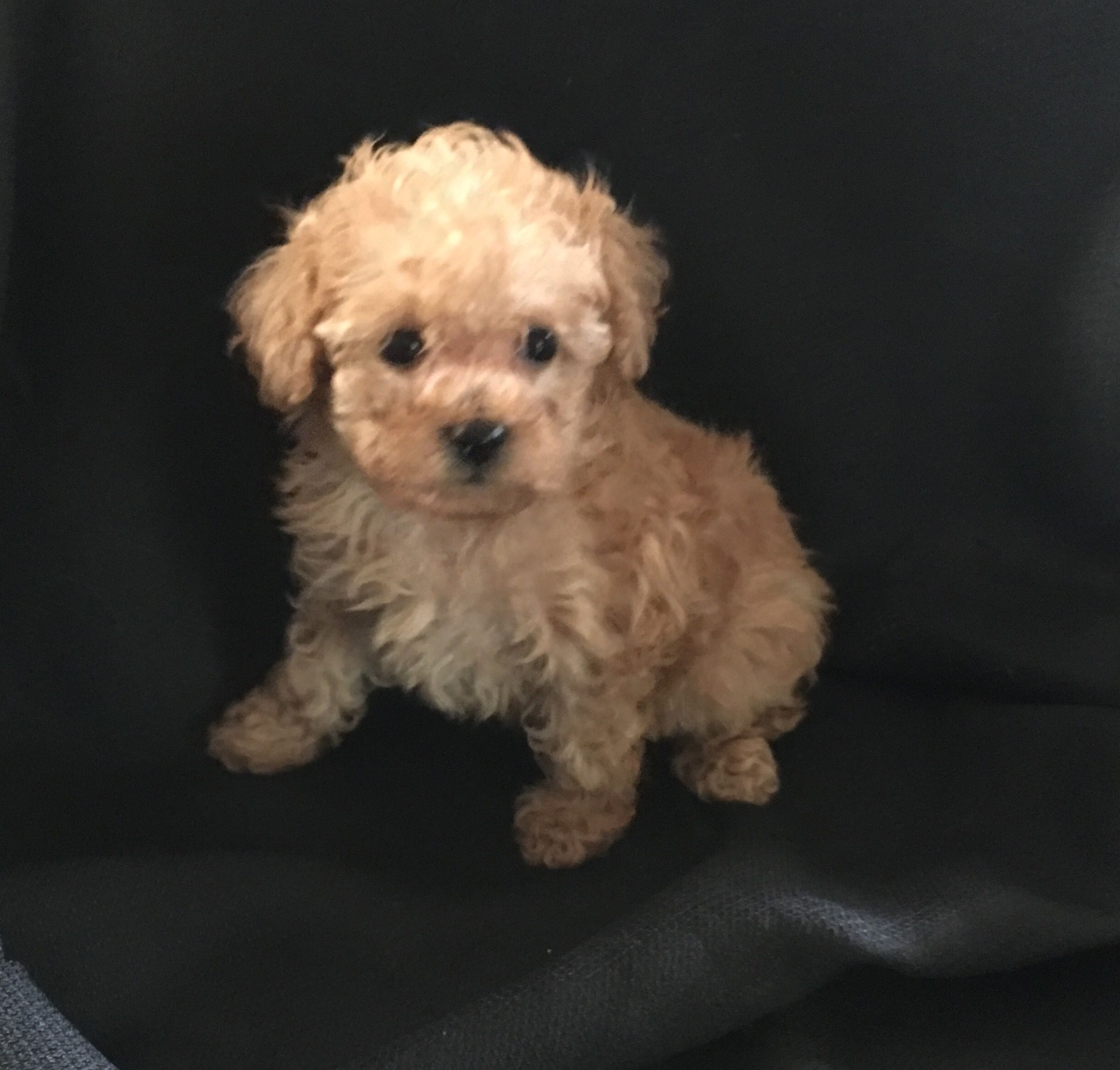 Designer And Mix Puppies Morkies Maltipoos Red Maltipoos Yorkshire Terrier Shih Tzu Havanese Toy And Teacup Poo Poodle French Bulldog Puppies Poodle Dog