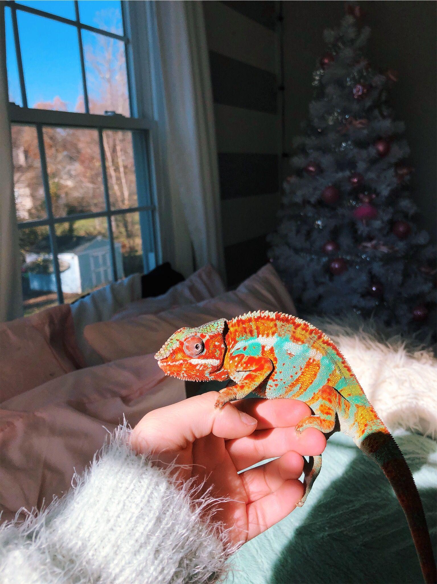 Vsco Summertimerelatablemoods Girlzlife Relatableteenvsco Sunnyyvibes Freshvibezz Relatableteen Sweetlifeee V Chameleon Pet Cute Lizard Cute Reptiles,Sun Conure For Sale