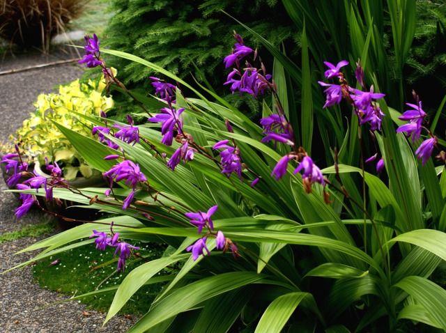 Bletilla Striata Jacki Dee Flickr Com Orchidee Amenagement
