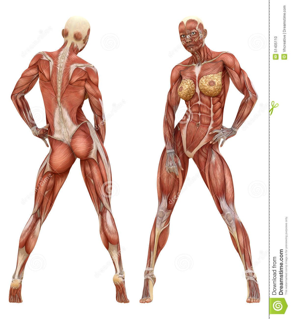 Female Muscular System Anatomy | Human anatomy & character design ...