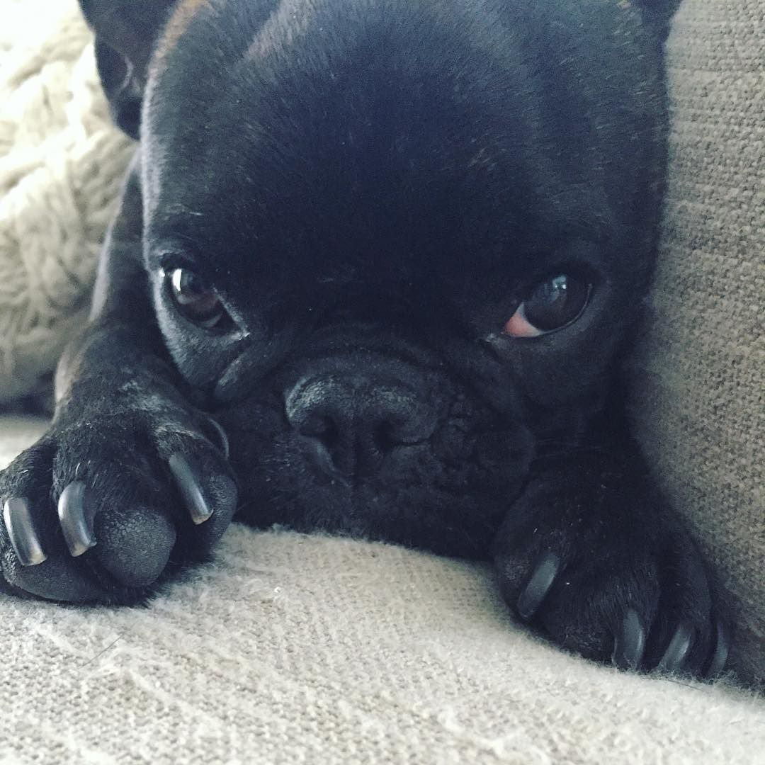 Instagram Photo By Batman The French Bulldog Apr 24 2016 At 3 36pm Utc French Bulldog Crazy Dog Lady Dog Photos
