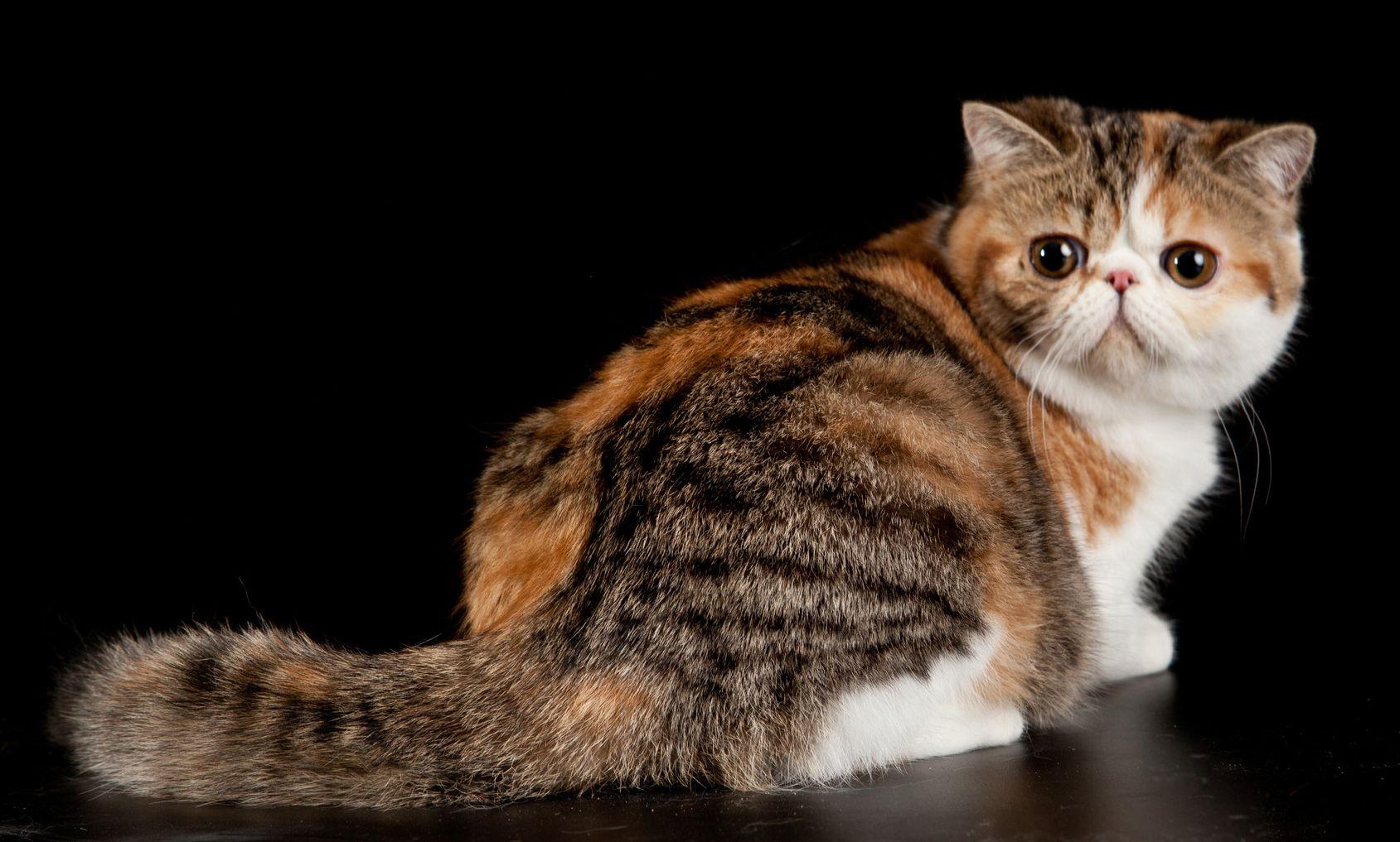 Exotic shorthair cat. Exotic domestic cat on black