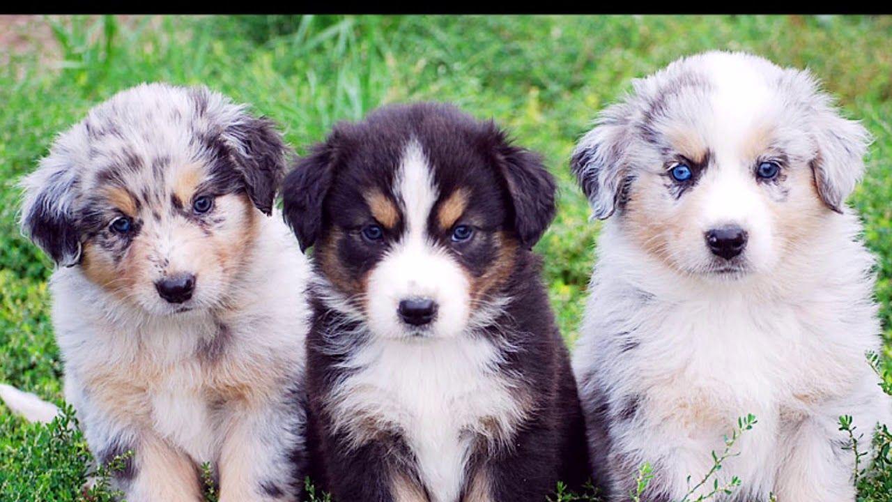 Mini aussie shepherd, Mini aussie and Blue merle on Pinterest