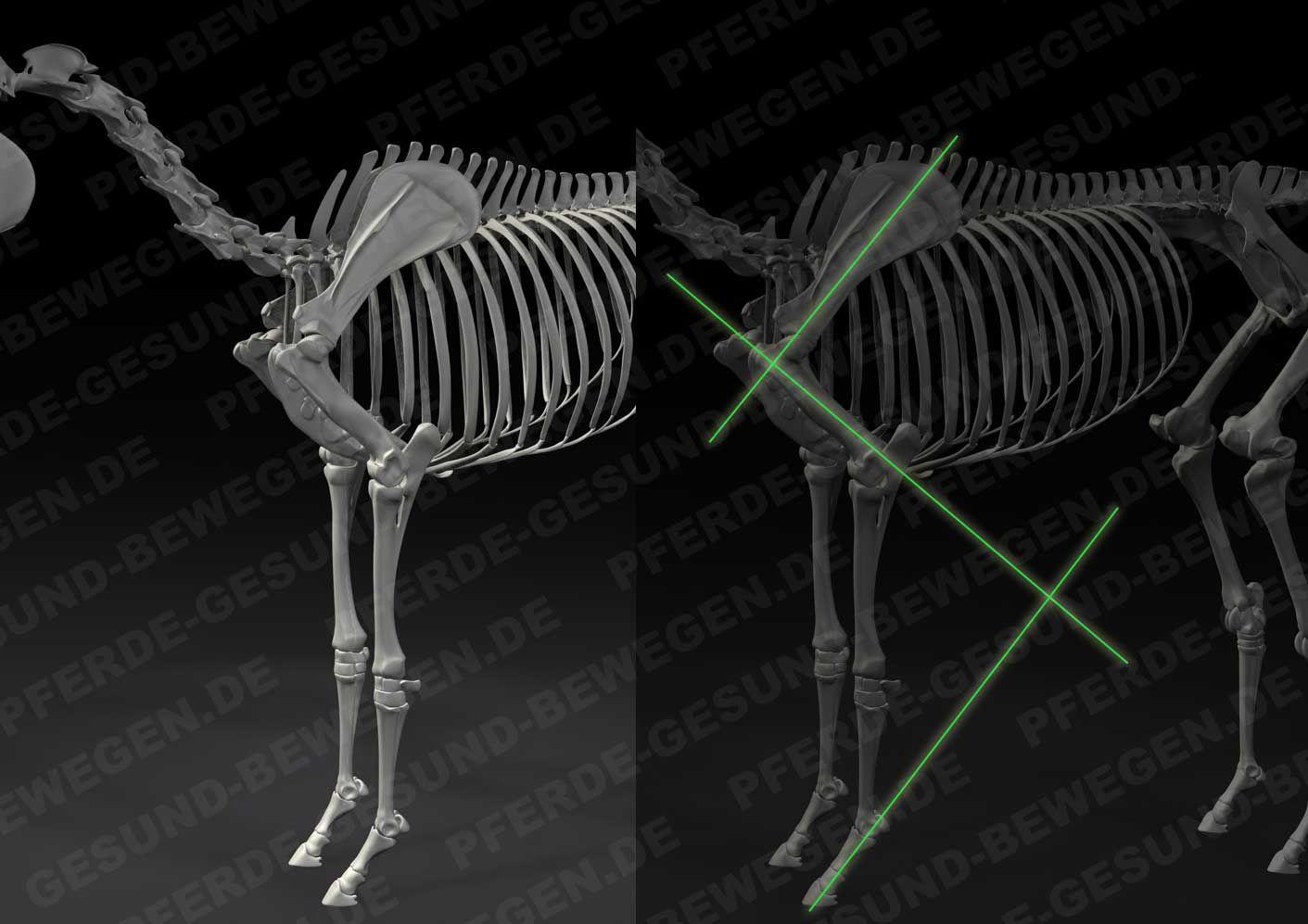 Die Statik des Vorderbeins - Pferdeskelett - Anatomie http://shop ...