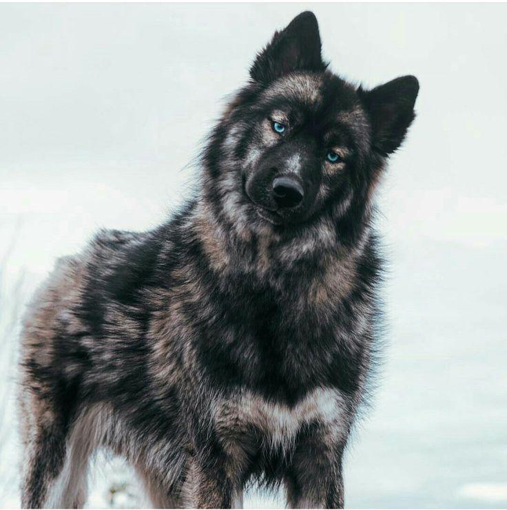 Sibirischer Husky German Shepard Mix   - wolf - #German #Husky #Mix #Shepard #Sibirischer #wolf #catbreeds