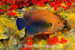 Potter S Angelfish Centropyge Potteri Angel Fish Saltwater Fish Tanks Marine Fish Tanks
