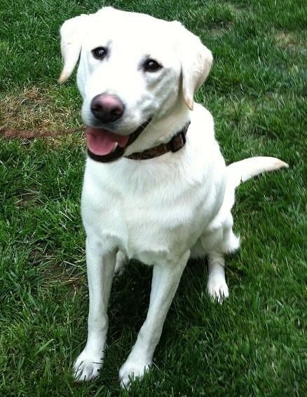 CHESTERFIELD, VA-- LOST MALE DOG 8/14/14 White Labrador Retriever (light tan tips on ears and tail), approx. 70lbs., answer to the name Maddux, last seen at Beach Road and Coalboro Road in Chesterfield, VA. He is microchipped. Please call 804-822-5560. — in Chesterfield, VA.