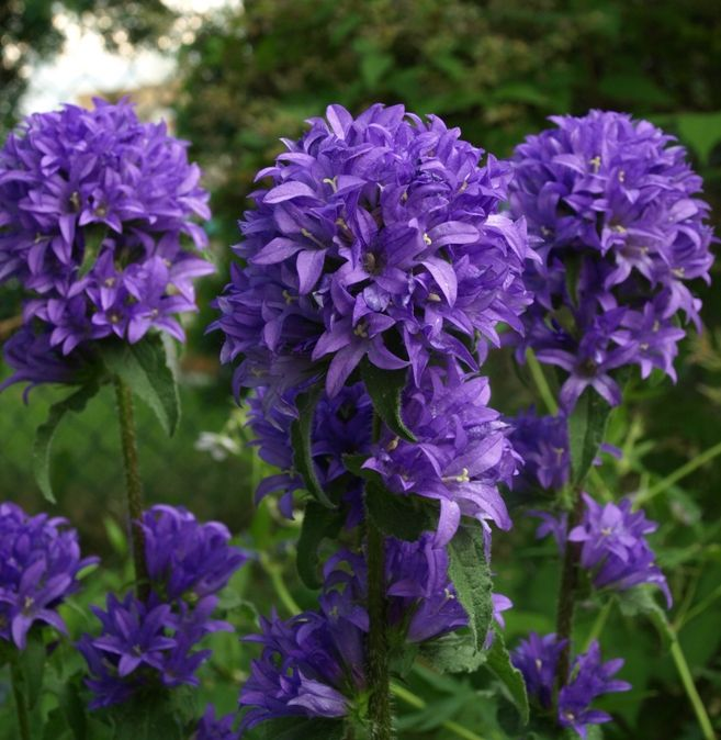 Perennial Flower Identification Stock Photo Campanula Glomerata Superba Cered Bellflower