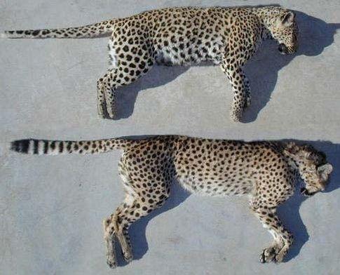 puma vs panther
