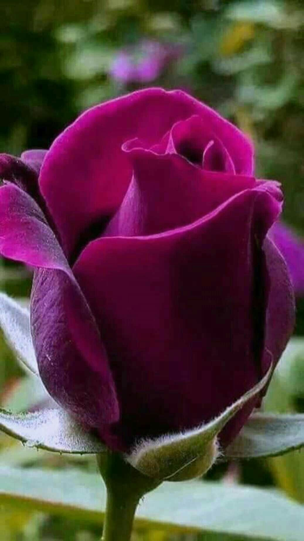 Pin by l trang on hnh nh pinterest beautiful flowers flowers pretty flowers amazing flowers beautiful roses pink roses lavender roses purple mightylinksfo