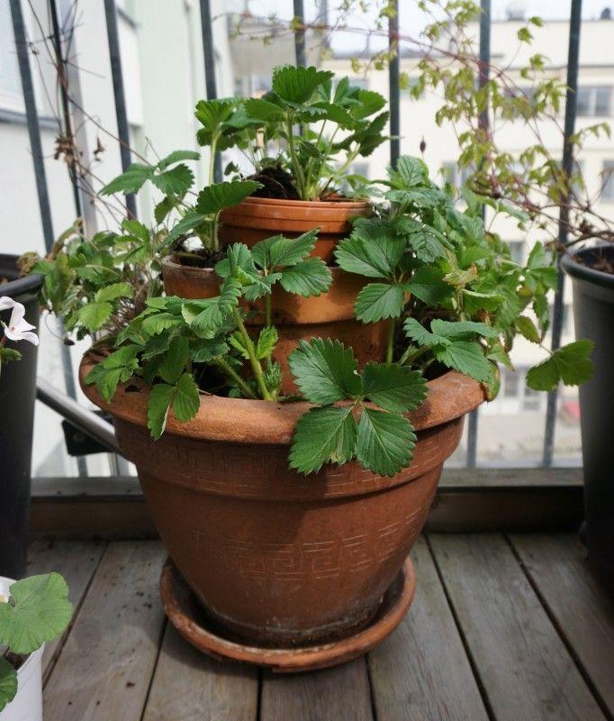 plantera jordgubbar balkong