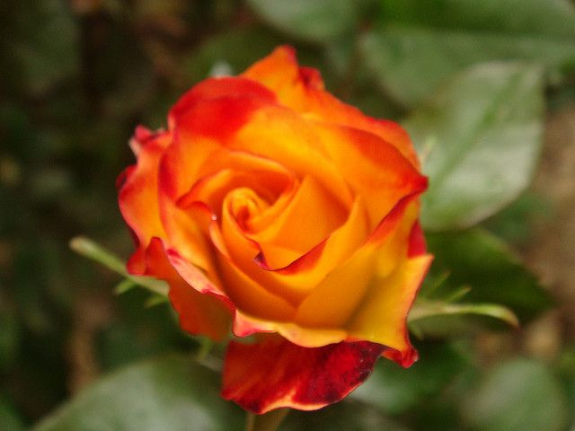 Rose of friendship | Flickr - Photo Sharing!