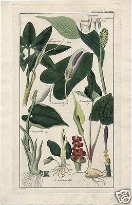 1830's DIETRICH FOLIO FLORA UNIVERSALIS: LIMNOBIAE Dracontium Arum Calla
