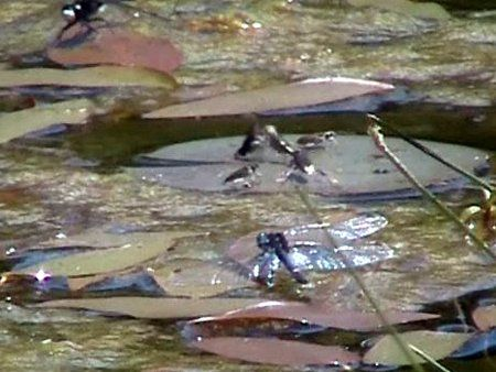 June 2013 Bug Wedding Or Showdown On A Lily Pad With Images Watercolor Artists Fish Pet Pets