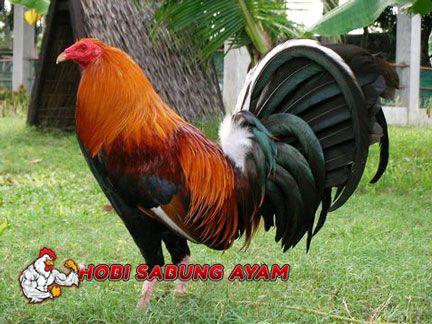 sabung ayam online ayam aduan filipina ini jelas berasal dari