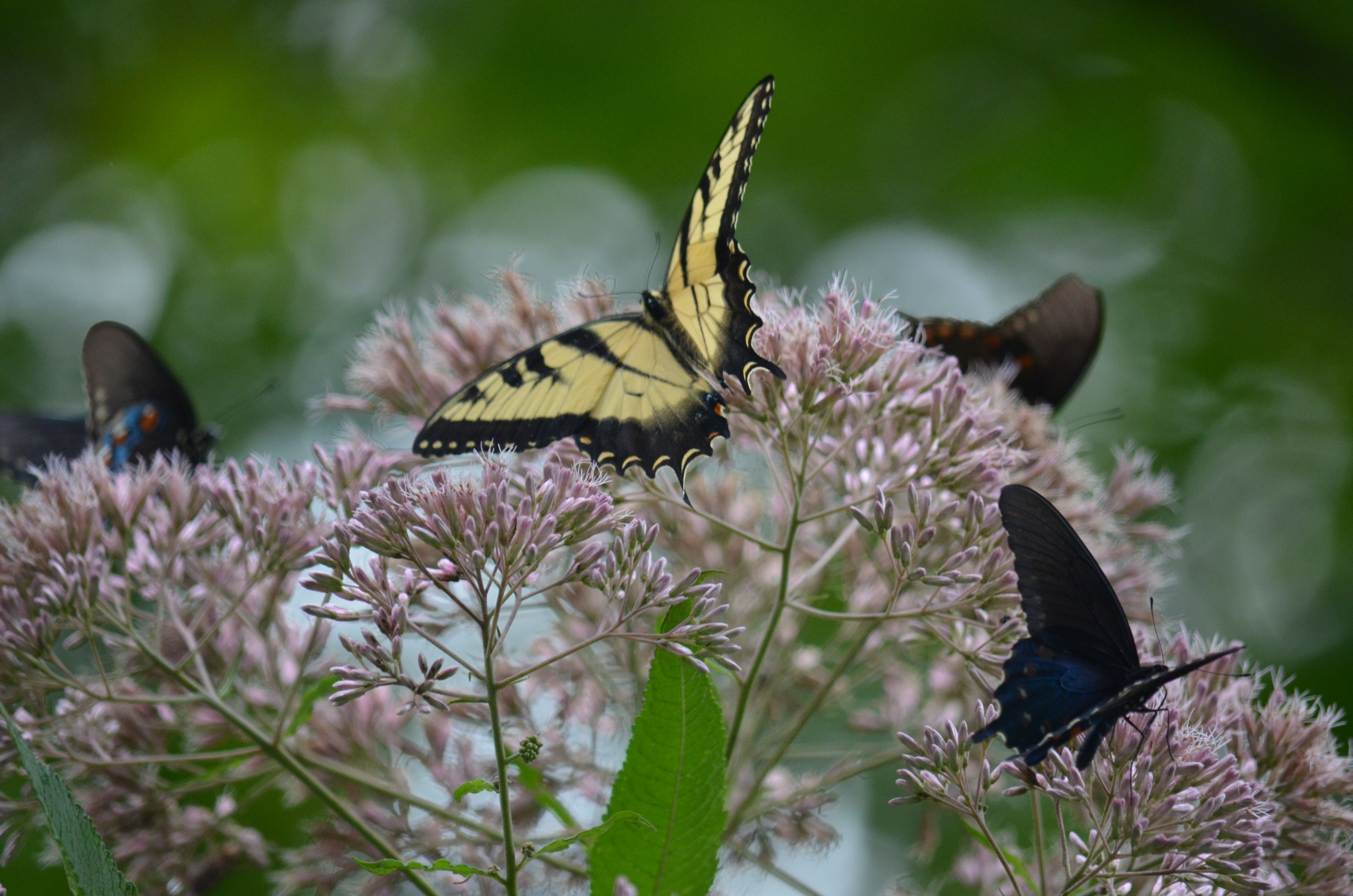 Butterflies with images my pictures animals birds