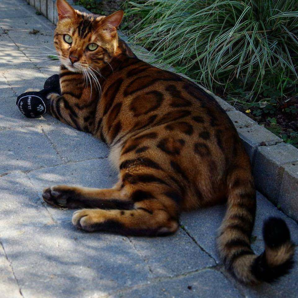 Bengal cat laying on the floor Bengal cats Pinterest
