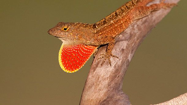 World's All Amazing Things, Pictures,Images And Wallpapers: CAROLINA ANOLE