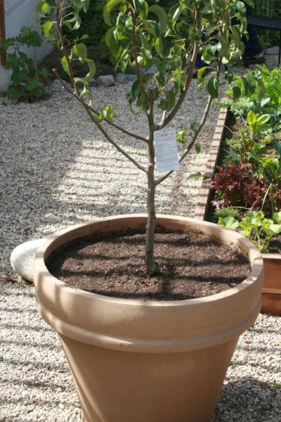 Can Peach Trees Grow In Pots Tips On Growing Peaches In A Container Some Fruit Trees Do Better Than Other Potted Trees Fruit Trees Backyard Dwarf Fruit Trees