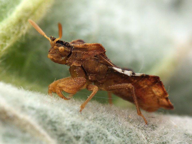 Klop Fimata Hemiptera 半翅目