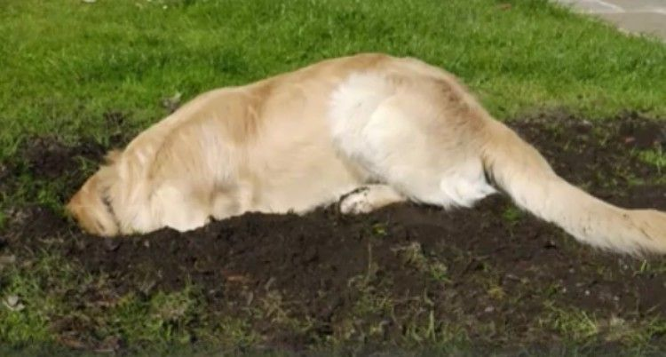 Golden Retriever Starts Digging Intensely In The Backyard When He
