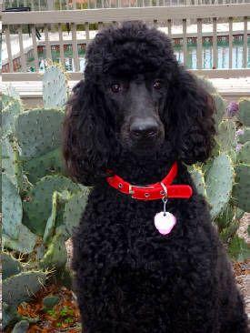 Poppy The Dog Park Prom Queen Poodle Black Standard Poodle