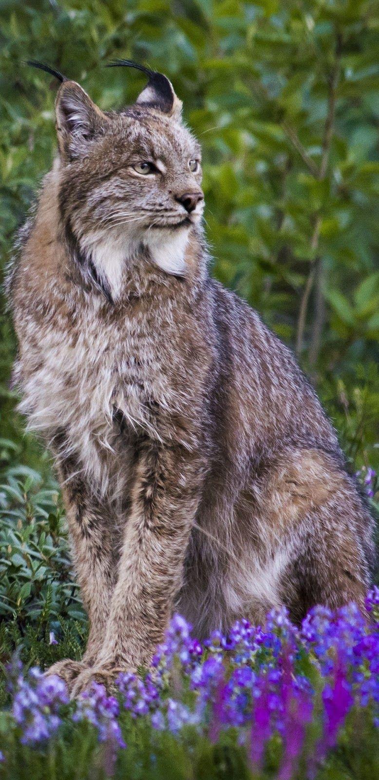 A majestic lynx Canada lynx, Animals, Most beautiful cat