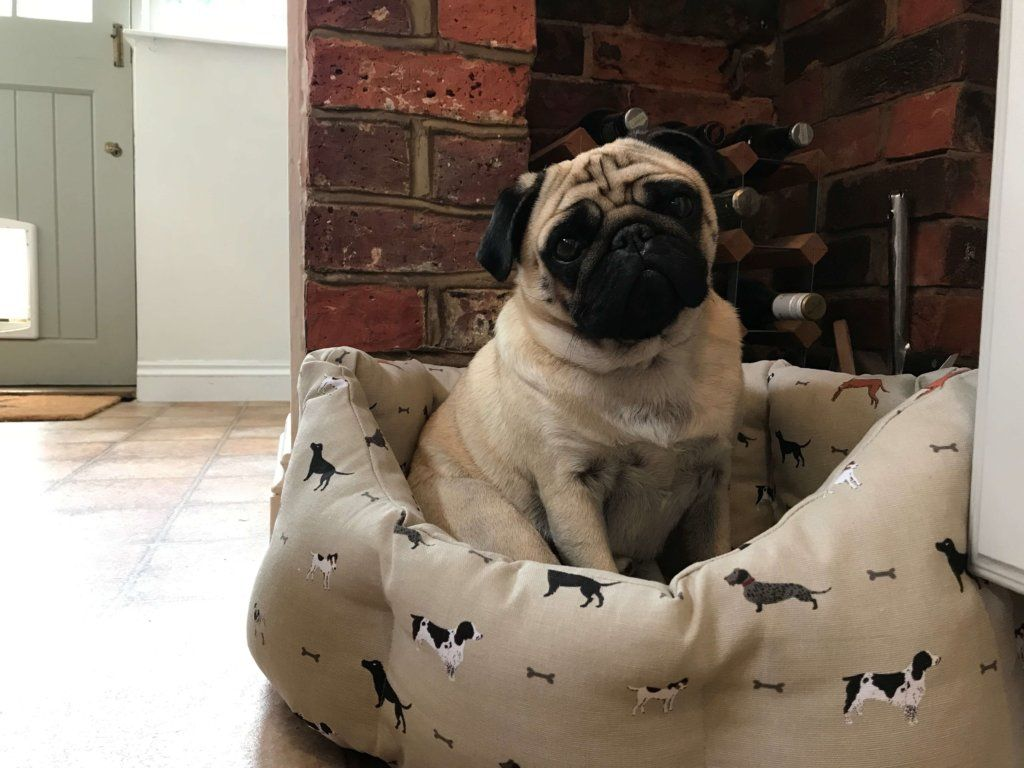 It S A Pugs Life With Boris From Feathering The Empty Nest Pug