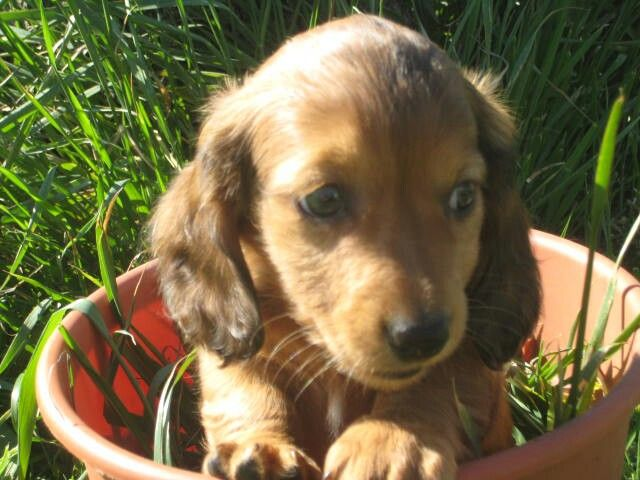 Happy Summer Doxie Puppies Puppy Flowers Daschund Puppies