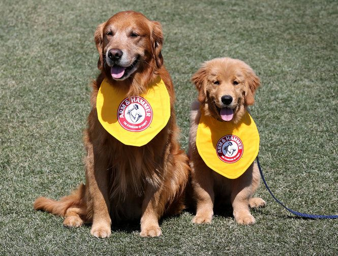 Derby Left And Rookie The Golden Retrievers Trenton Thunder