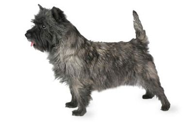 Cairn Terrier Dog Breed Information Pictures Characteristics