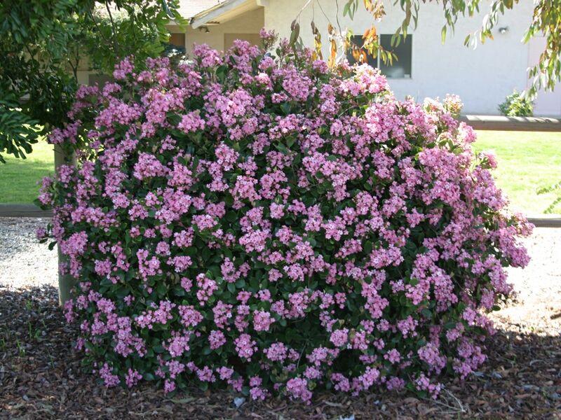 Indian hawthorn shrub landscaping ideas pinterest