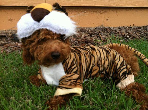 dog halloween costume contest fabio the tiger