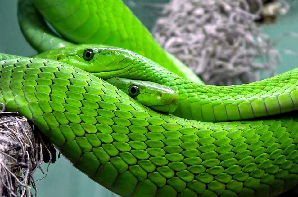 Gratis Obraz Na Pixabay Snake Mamba Mamba Zielona Ausgestopftes Tier Schlange Kostenlose Bilder