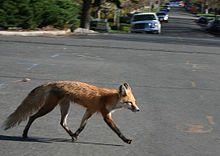 Red Fox Fox Red Fox Pet Dogs