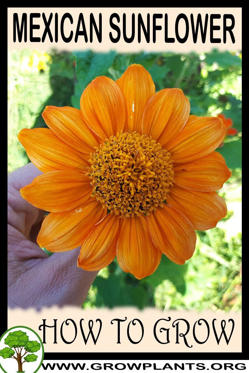 How To Grow Mexican Sunflower Mexican Sunflower Plants Easy Plants To Grow