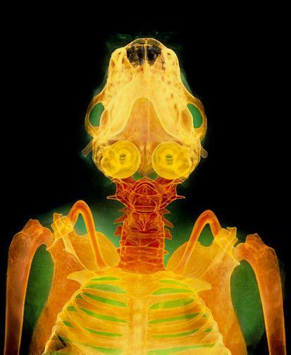 Bat Skull X Ray Note The Developed Organs Of The Inner Ear Used