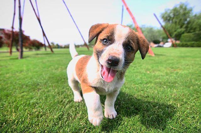 Reposting Tasveer Kadah Via Crowdfire Adorable Tasveer Kadah Photobyrtw Puppies Puppiesofinstagram Puppy Dogsofinstagram Pets Lovethem Animal