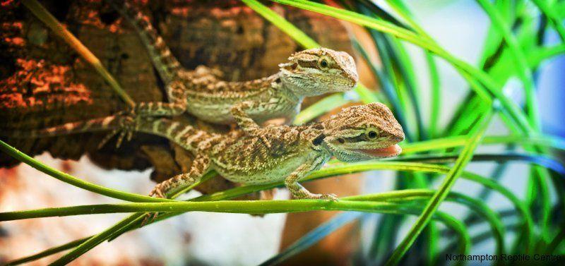 How Good Are These Reptile Photos Bearded Dragon Cute Bearded