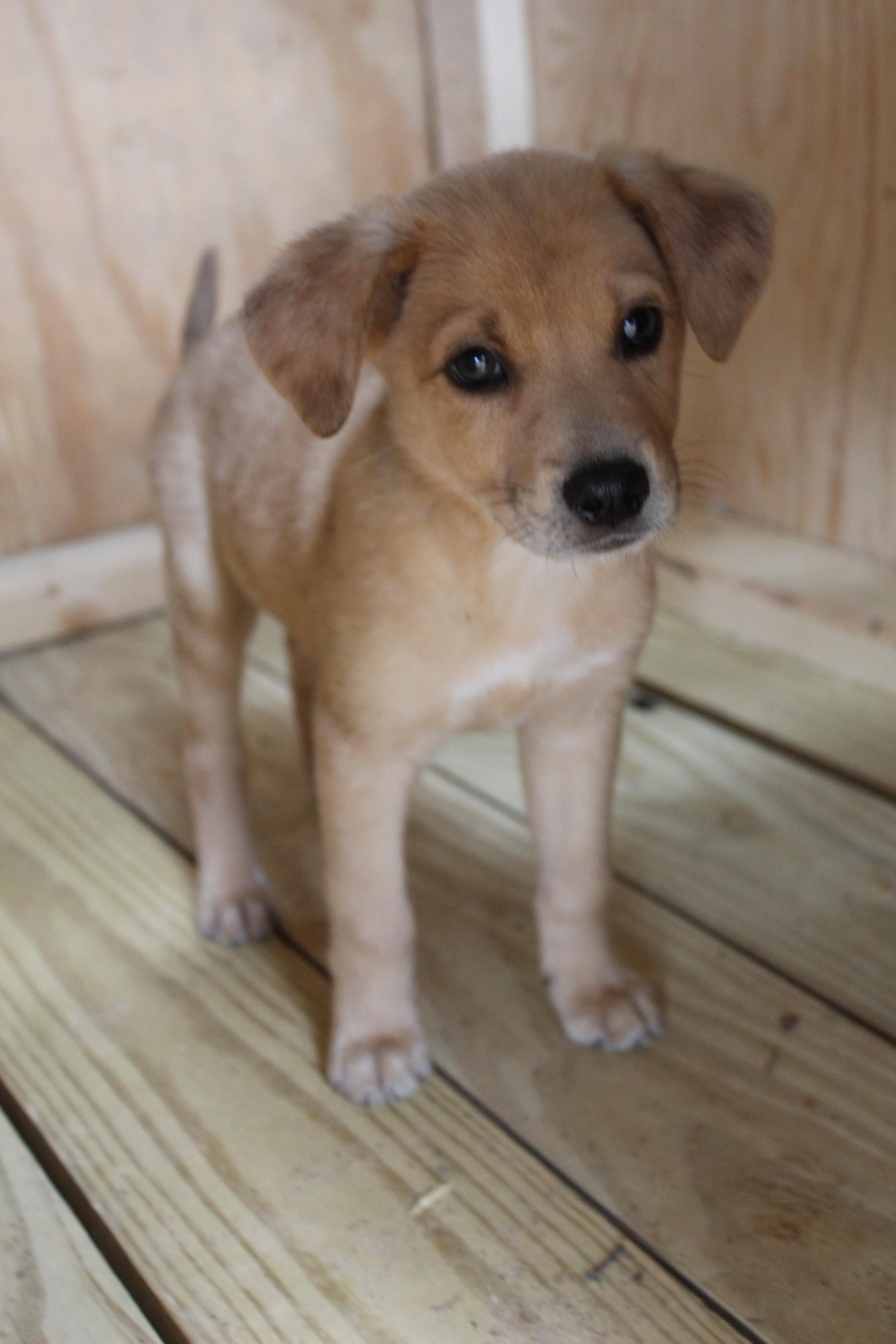Meet Carmel An Adoptable Golden Retriever Looking For A Forever Home If You Re Looking For A New Pe Australian Cattle Dog Blue Heeler Cute Animals Cattle Dog