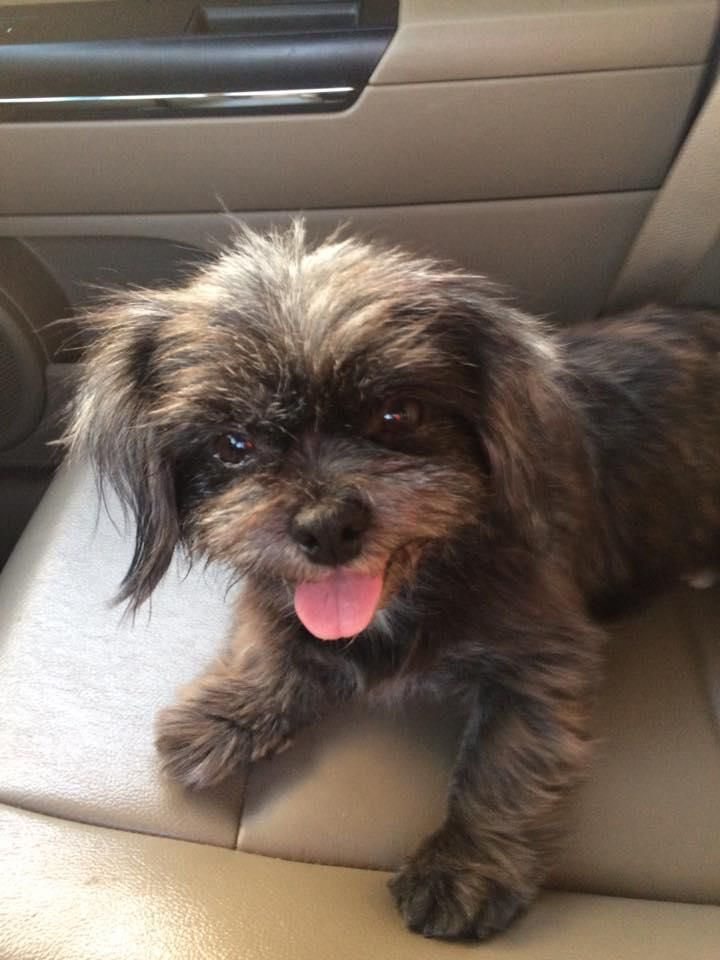 Adopt Heidi Adopted On Adoption Shelter Dogs Shih Tzu