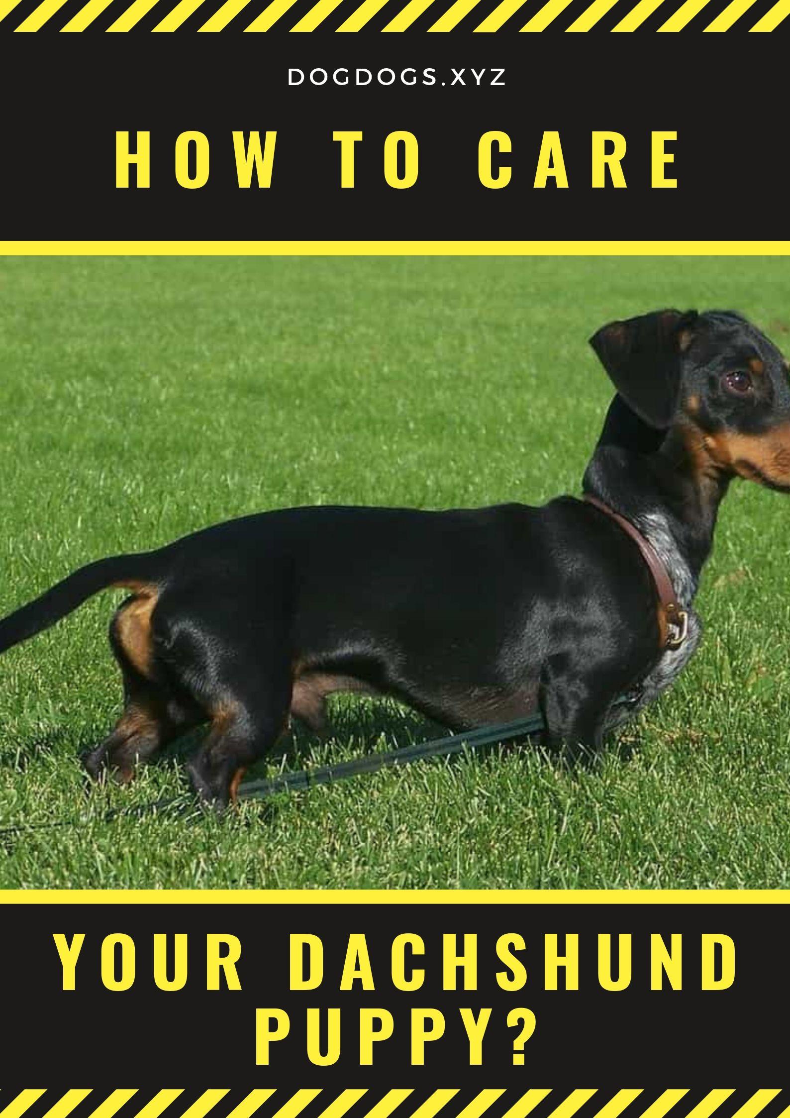 How To Care Your Dachshund Puppy Dachshund Puppy Dachshund